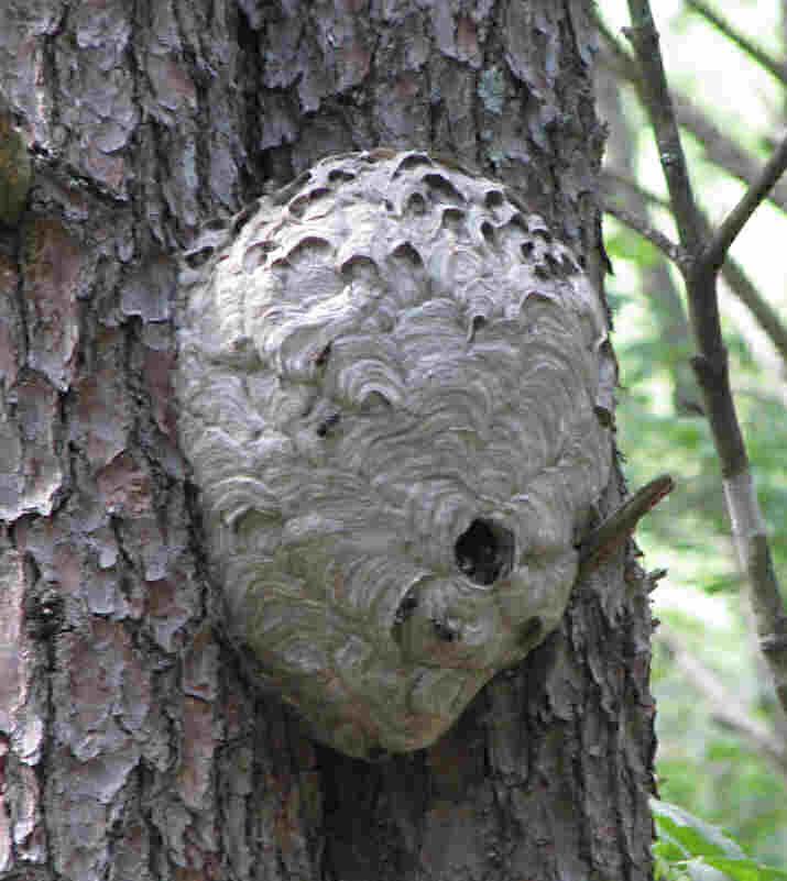 Ground Hornets Nest Look Like http://www.cafemom.com/group/115189/forums/read/18415316/the_wasp
